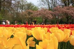 Keukenhof Netherlands. Tulips bloom in may royalty free stock photography