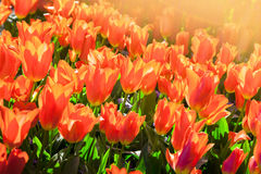 Keukenhof outdoor tulip flower scenery. Beautiful present. Sprin Stock Photography
