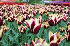 Keukenhof park is full of colorful flowers. Netherlands Royalty Free Stock Photo