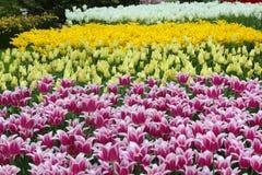 Keukenhof park is full of colorful flowers. Netherlands Stock Photo