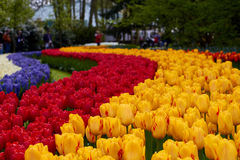 Keukenhof park in Netherlands. Blooming tulips in Keukenhof park in Netherlands stock photography