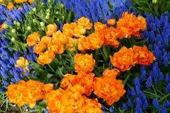 Keukenhof park in Netherlands. Blooming tulips in Keukenhof park in Netherlands stock photos