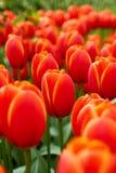 Keukenhof park in Netherlands. Blooming tulips in Keukenhof park in Netherlands royalty free stock photography