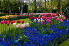 Keukenhof park in Netherlands. Blooming tulips in Keukenhof park in Netherlands stock images