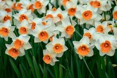 Keukenhof park in Netherlands in spring time , daffodil flowers. Keukenhof park in Netherlands in spring time ,  blooming tree and daffodil flowers stock image
