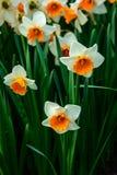 Keukenhof park in Netherlands in spring time , daffodil flowers. Keukenhof park in Netherlands in spring time ,  blooming tree and daffodil flowers stock photography