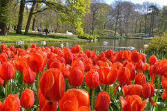 Keukenhof 3 Royalty Free Stock Photo