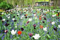 Keukenhof trädgård, Nederländerna - Maj 10: Färgrika blommor och blomningen i holländsk vår arbeta i trädgården Keukenhof som är  Arkivfoton