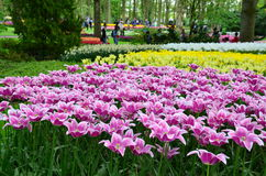 Keukenhof trädgård, Nederländerna - Maj 10: P Färgrika blommor och blomningen i holländsk vår arbeta i trädgården Keukenhof som ä Arkivfoto