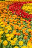 Keukenhof Tulip Display Immagine Stock