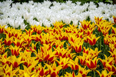 Keukenhof Tulip Gardens Arkivbilder