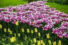 Keukenhof Tulip Gardens Arkivfoton