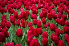 Keukenhof Tulip Gardens Arkivbild