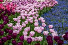 Keukenhof Tulip Gardens Royaltyfria Foton