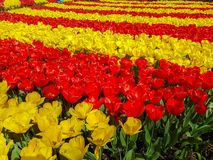 Keukenhof tulips. Keukenhof flower power hippie tulips dutch netherlands holland bulb bulbs colour colourful hippy peace arrangement   garden gardens variety royalty free stock photo