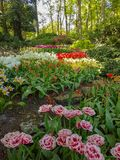 Keukenhof tulips. Keukenhof flower power hippie tulips dutch netherlands holland bulb bulbs colour colourful hippy peace arrangement   garden gardens variety royalty free stock images