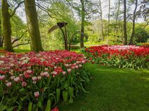 Keukenhof tulips. Keukenhof flower power hippie tulips dutch netherlands holland bulb bulbs colour colourful hippy peace arrangement   garden gardens variety royalty free stock photography