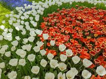 Keukenhof tulips. Keukenhof flower power hippie tulips dutch netherlands holland bulb bulbs colour colourful hippy peace arrangement   garden gardens variety stock photo