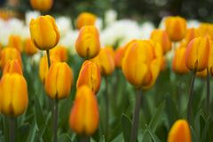Keukenhof2008 Stock Photography