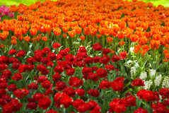 Keukenhof2008 Royalty Free Stock Photos