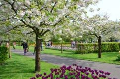 Keukenhoftuin, Nederland Kleurrijke bloemen en bloesem in Nederlandse de lentetuin Keukenhof Royalty-vrije Stock Afbeeldingen