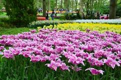 Keukenhoftuin, Nederland - Mei 10: P Kleurrijke bloemen en bloesem in Nederlandse de lentetuin Keukenhof die de wereld larges is Stock Foto