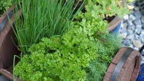 Keukenkruiden in de tuin stock videobeelden
