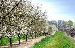 Keurige rijen van bloeiende kersenbomen en wijnstokken Royalty-vrije Stock Fotografie