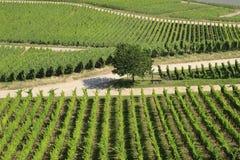 Keurige Rijen van Wijnstokken bij Duitse Wijngaard Stock Afbeelding