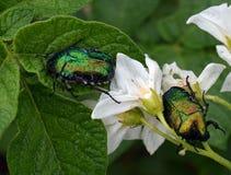 Kever, insect, groen insect, aard, macro, bloem, dier, blad, plant, de zomer, close-up, close-up, het wild, wit, vlieg, insecten, stock foto