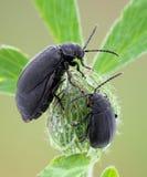 Kever, insecten. Royalty-vrije Stock Foto