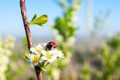Kever - Onzelieveheersbeestje op de witte de lentebloem stock fotografie