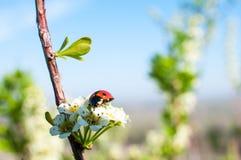 Kever - Onzelieveheersbeestje op de witte de lentebloem royalty-vrije stock fotografie