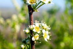 Kever - Onzelieveheersbeestje op de witte de lentebloem stock foto