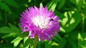 Kever op de bloem van Echinacea stock footage