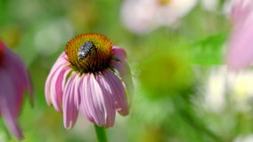 Kever op een Echinacea-bloem stock video