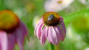 Kever op een Echinacea-bloem stock videobeelden