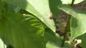 Kever op een groen blad in de tuin stock videobeelden