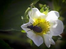 Kever op een witte bloem Stock Foto's