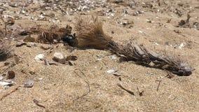 Kever op het zand stock video