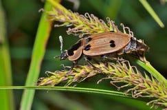 Kever (Silphidae) 7 Stock Fotografie
