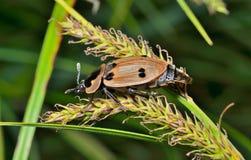 Kever (Silphidae) 4 Royalty-vrije Stock Fotografie
