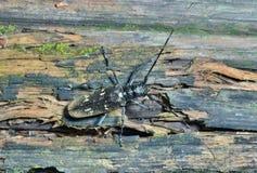 Kever 8 van Steenbok Stock Afbeeldingen