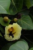 Kevervlieg in de bloem van Strandmano Royalty-vrije Stock Afbeeldingen