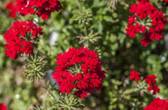 Kew Garden, red flowers. The picture shows some red flowers and green leaves around them Stock Photography