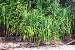 Kewda con las hojas espinosas largas - árbol de pino de tornillo - Pandanus Odorifer - planta y verdor costeros fotografía de archivo libre de regalías