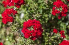 Kewtuin, rode bloemen Stock Fotografie