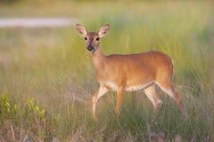 Key Deer Stock Photos