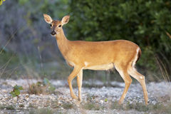 Key Deer on Big Pine Key. The Florida keys is the exclusive home to the endangered Key Deer. This deer in on Big Pine Key in grass. Key Deer are members of the royalty free stock photos