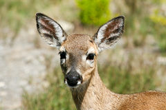 Key Deer in Big Pine Key, FL royalty free stock photography